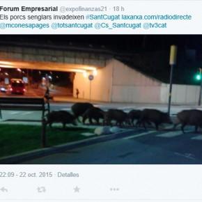 Ciutadans crítica la impasibilidad del equipo de gobierno ante la invasión de jabalíes en el centro de Sant Cugat